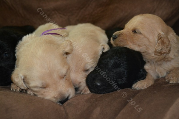 2 Week Old F1 Goldendoodle Puppies
